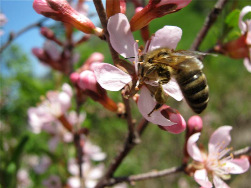 Пчела на бобовнике