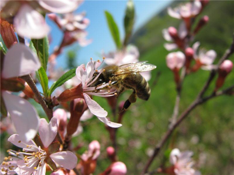 Миндаль низкий и пчела