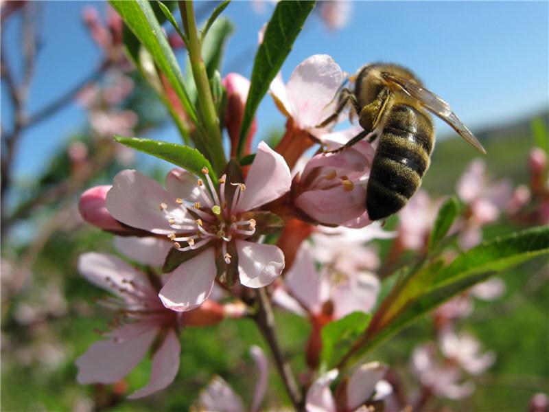 Пчела на цветке степного миндаля