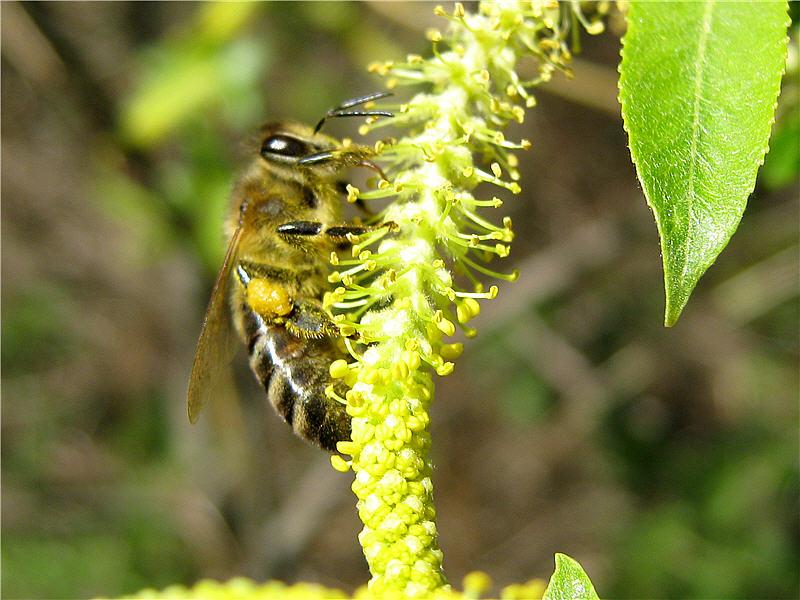 Пчёлы на цветках ивы трёхтычинковой
