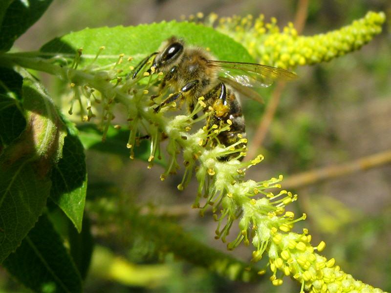 Пчела на цветке ивы миндальной