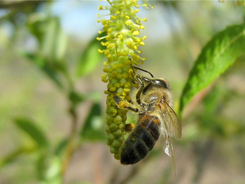 Ива трехтычинковая с пчелой