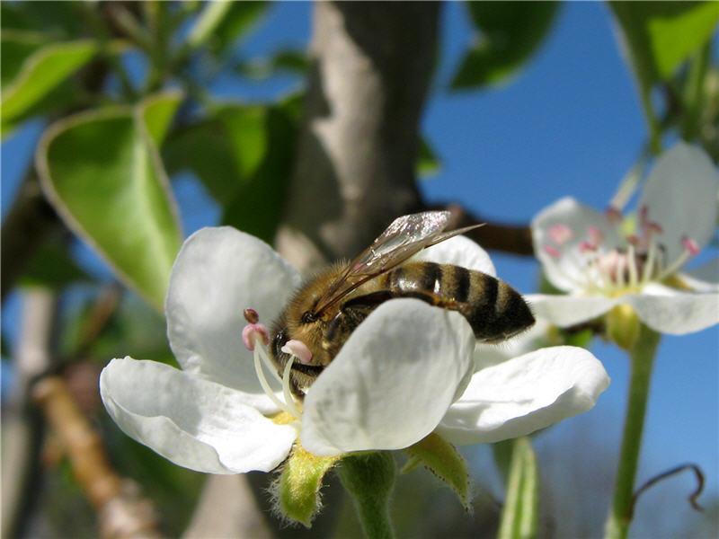 Пчела на цветке груши
