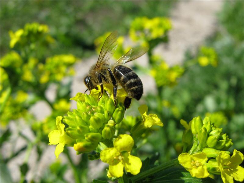 Пчела на цветке сурепки