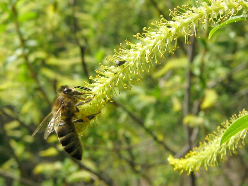 Пчела медоносная на иве