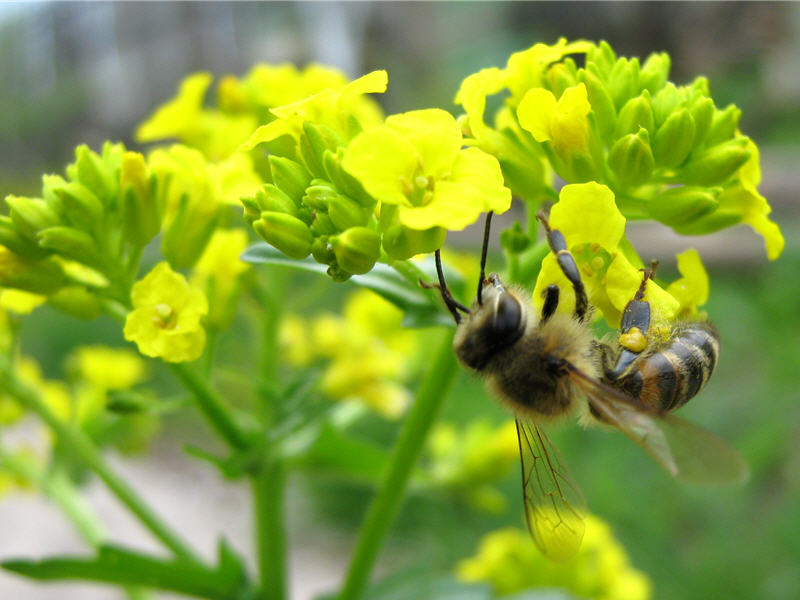 Пчела на цветках сурепки