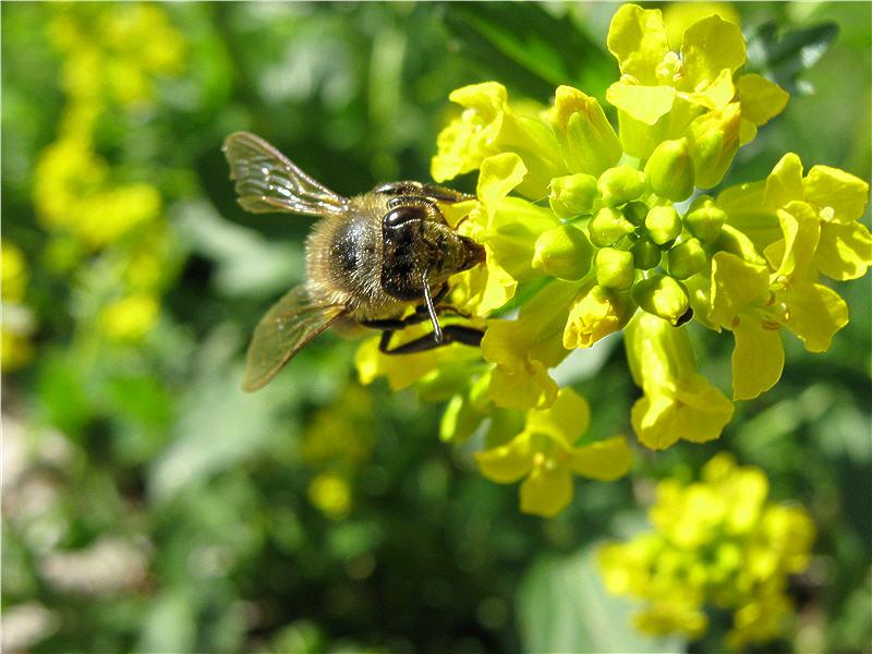 Пчела собирает сурепковый нектар