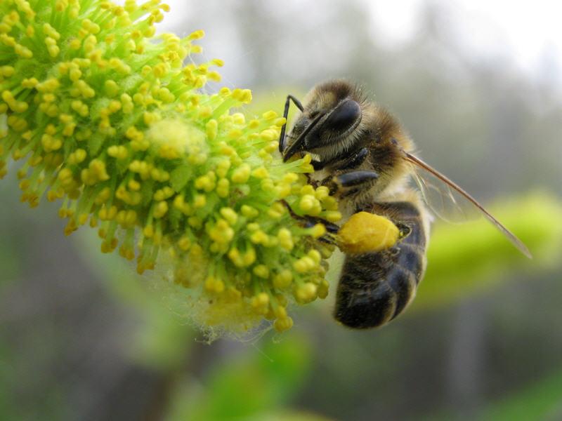 Пчела на цветке пятитычинковой ивы