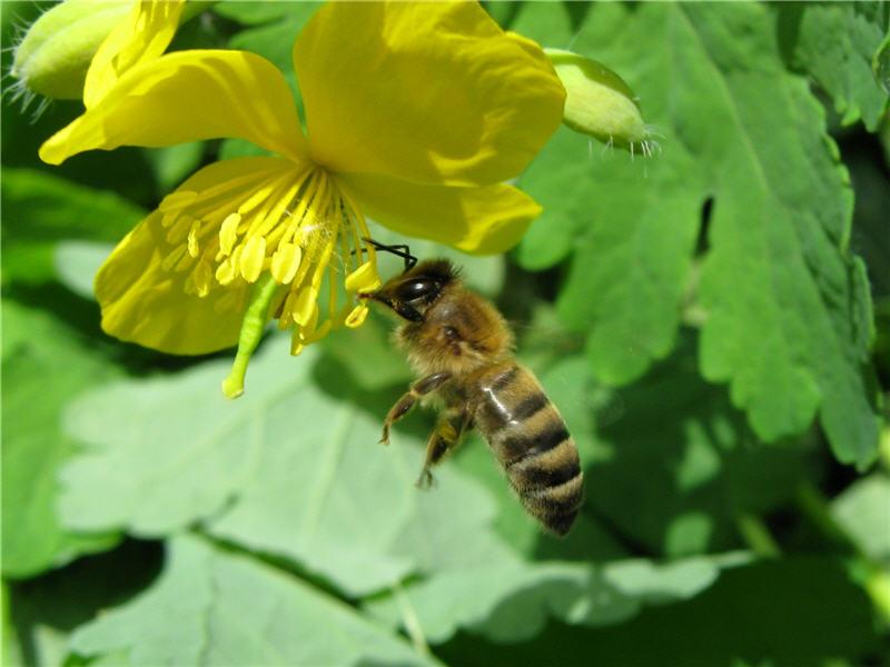 Цветок чистотела интересен пчеле