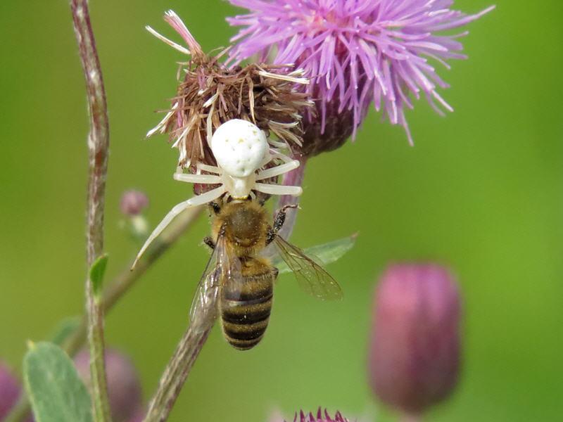 Пчела как жертва паука-бокохода
