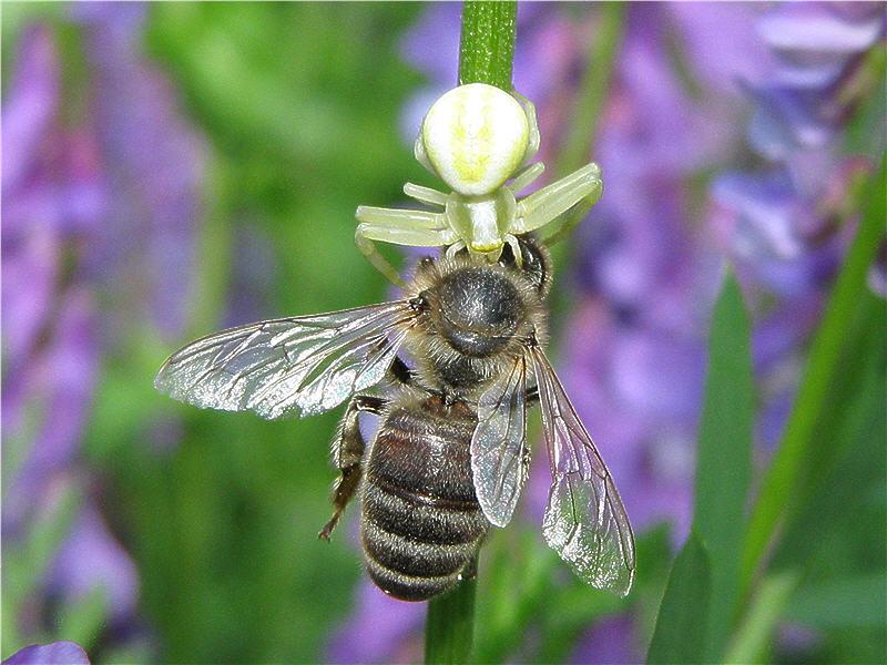 Паук-бокоход поймал пчелу
