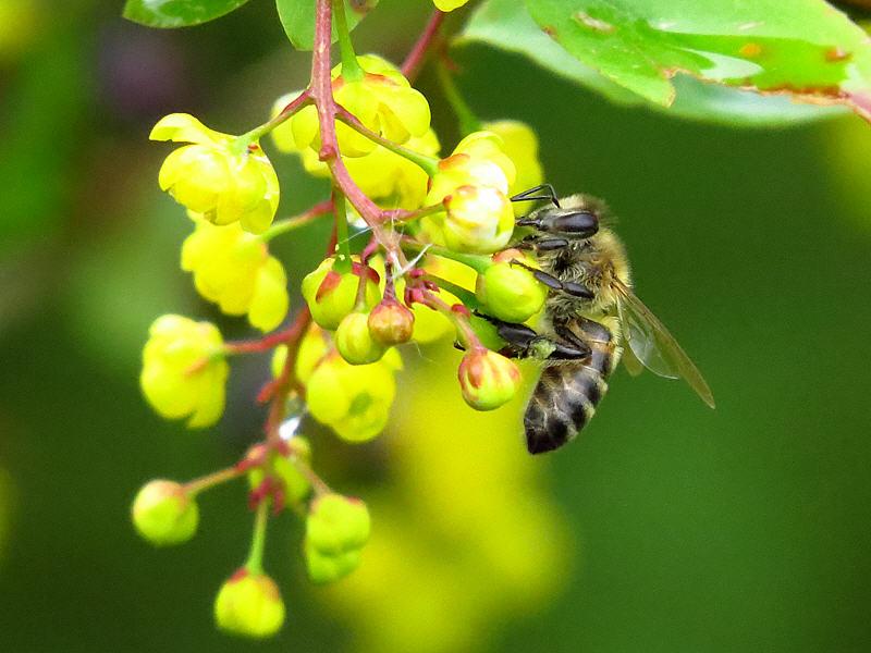 Пчела на соцветиях барбариса
