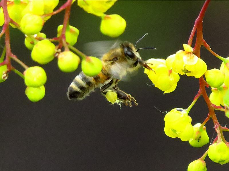 Пчела летит на соцветия барбариса