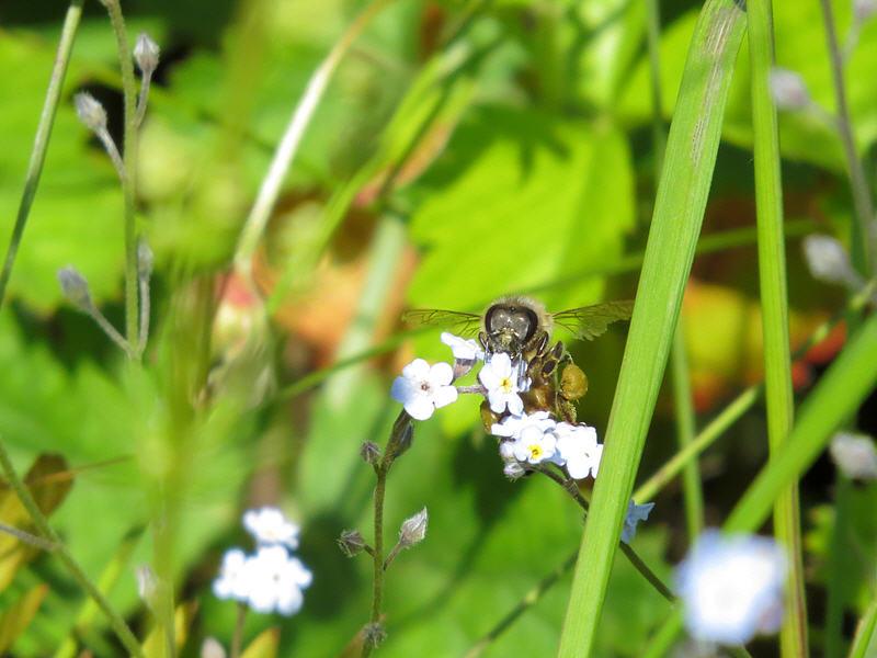 Незабудка и медоносная пчела