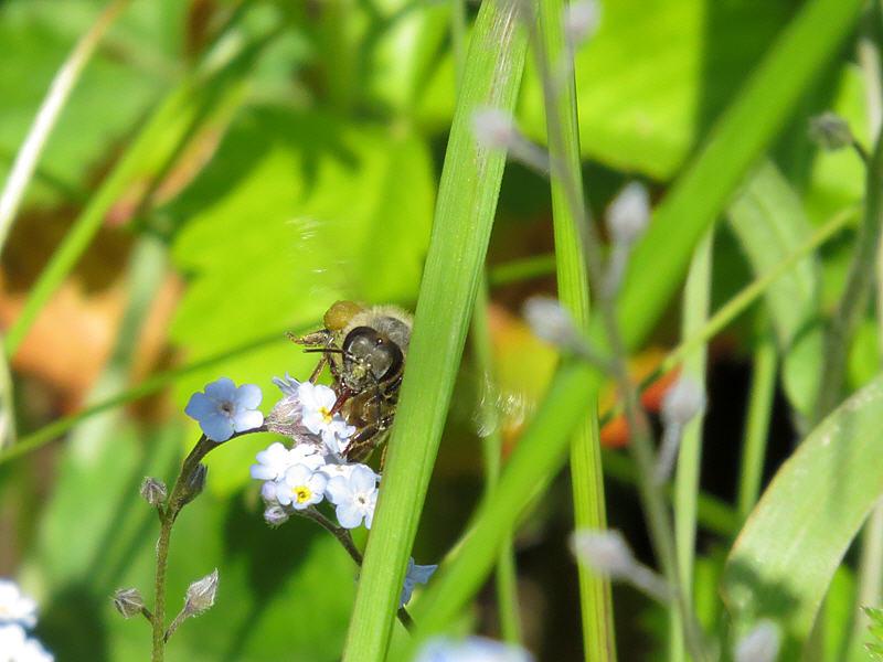 Цветки незабудки и пчёлка