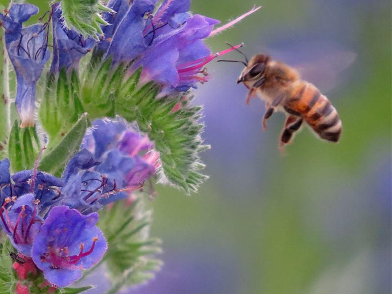 Пчела выбирает цветок синяка