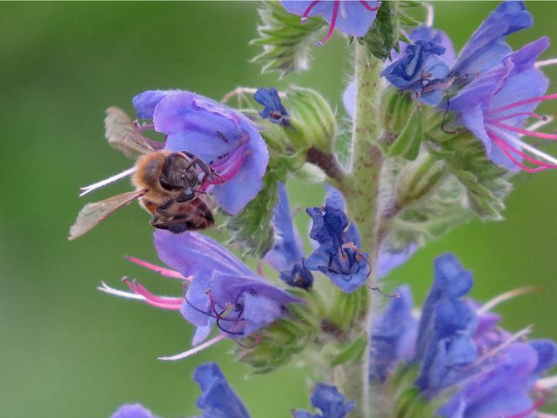 Пчела на цветке синяка