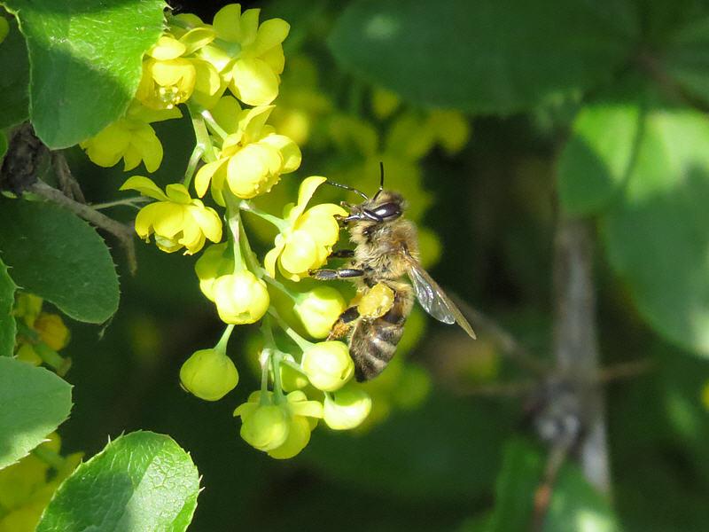 Медоносная пчела на цветках барбариса