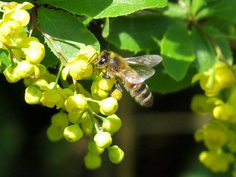 Пчела на цветках барбариса
