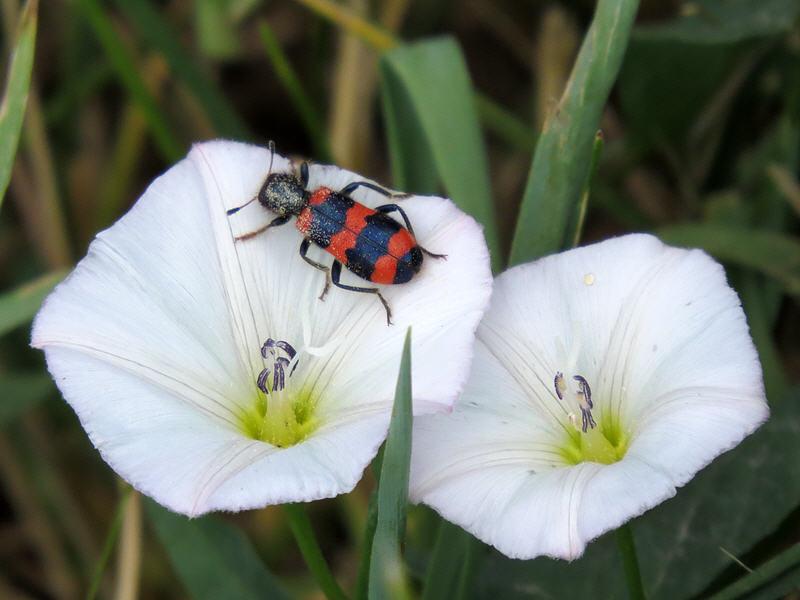 Пчелиный жук на цветках вьюнка полевого