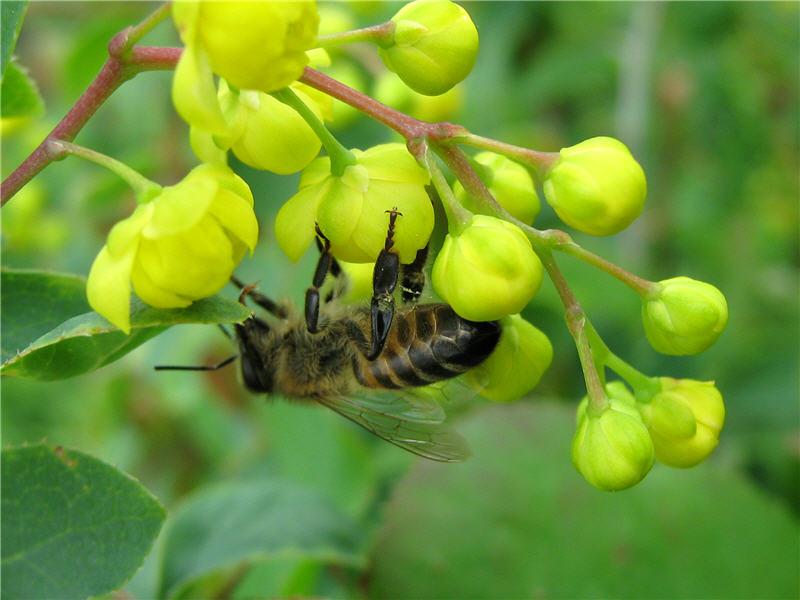 Фото пчелы на барбарисе