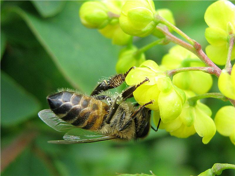 Пчела на цветке барбариса фото