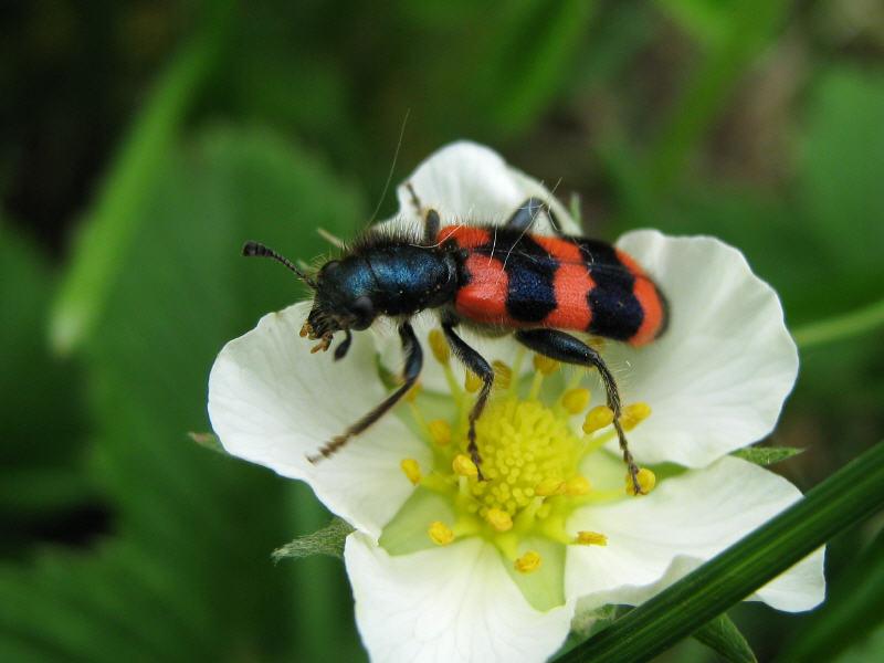Пестряк пчелиный