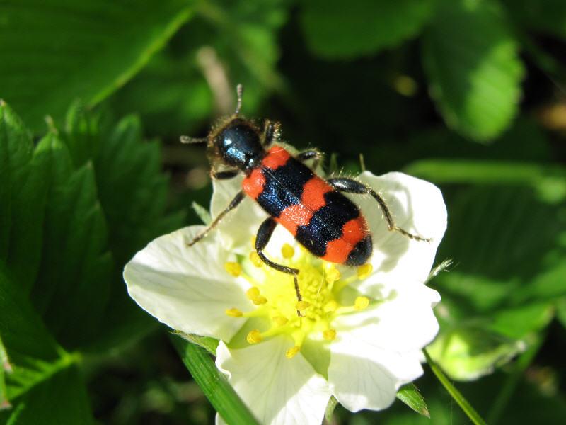 Пестряк на цветке земляники