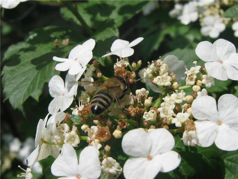 Пчела на цветке калины