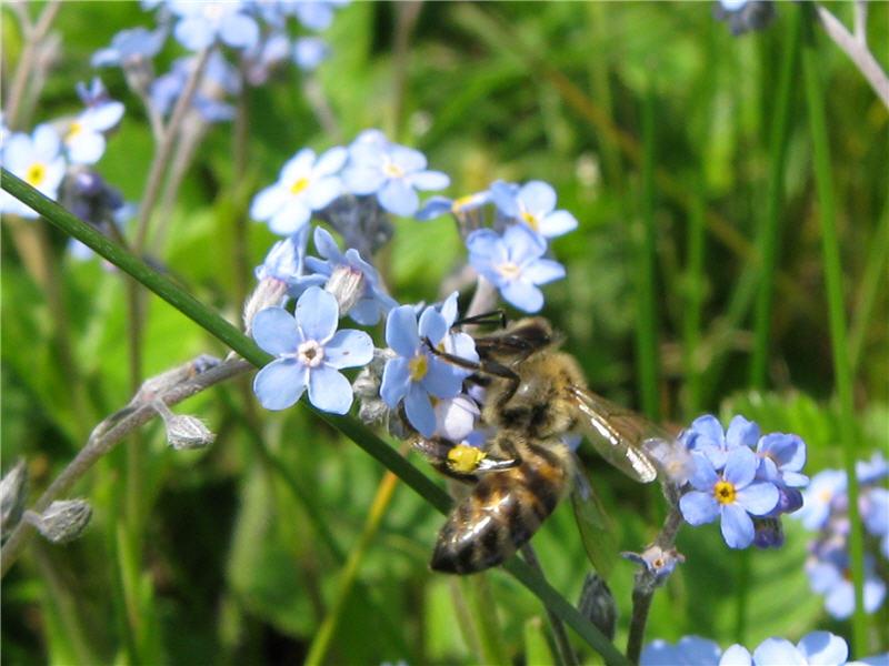 Пчела на цветке незабудки