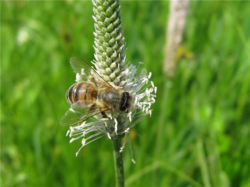 Пчела на цветке подорожника