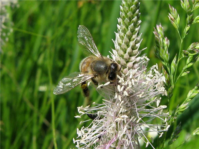 Пыльца с подорожника