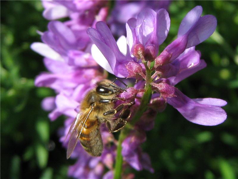 Пчела на цветке мышиного горошка