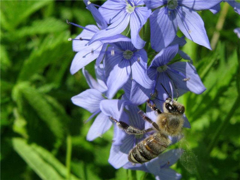 Пчела на цветке вероники австрийской