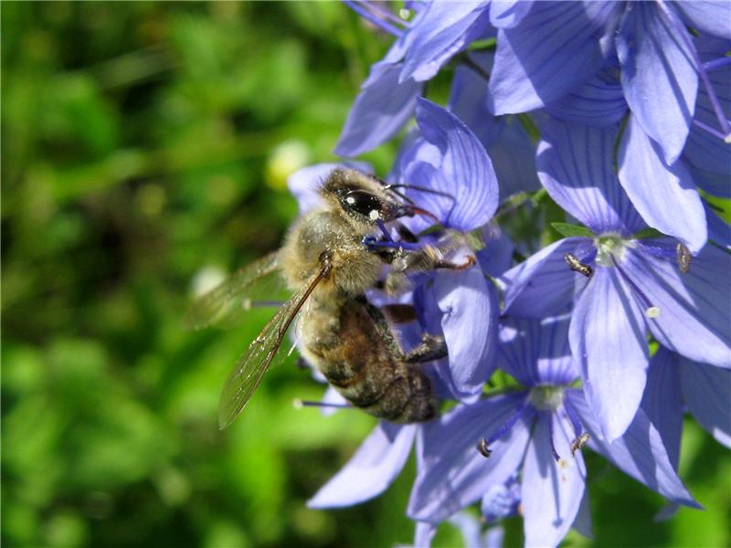 Лечение варикоза вен на ногах укусами пчел