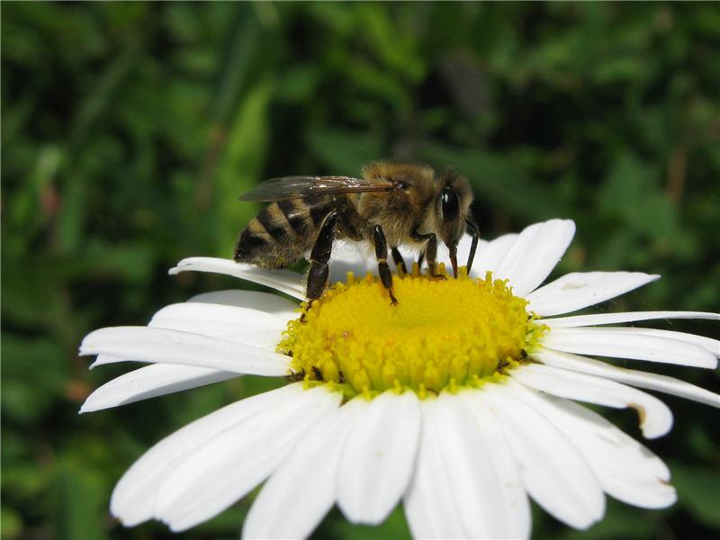 Лечение варикоза пчелами - какие помогут продукты пчеловодства