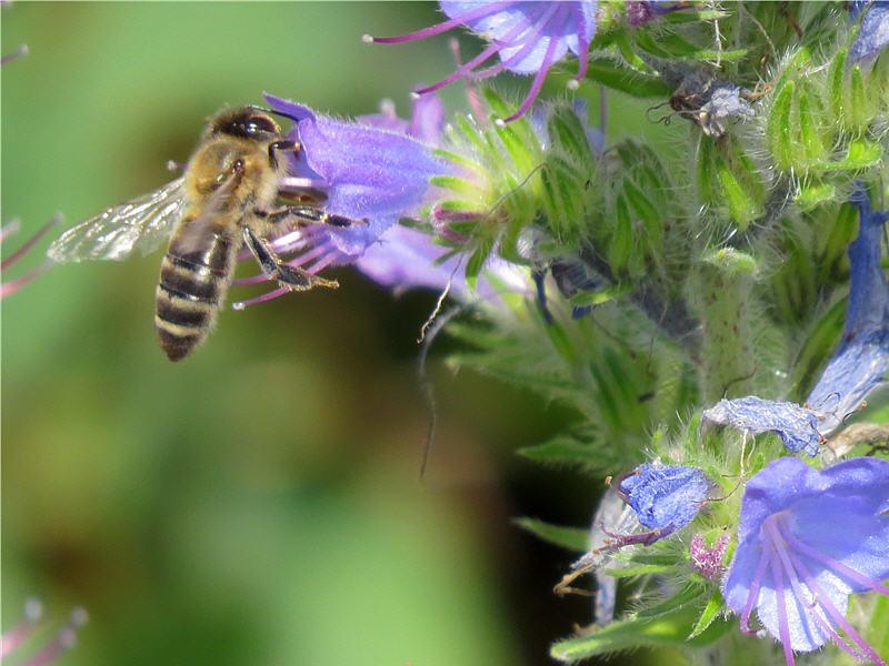 Макросъёмка пчелы
