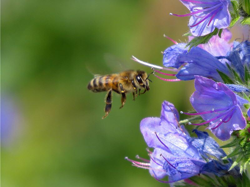 Синяк обыкновенный и медоносная пчела