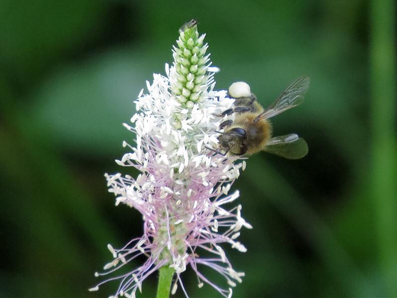 Пчела на подорожнике