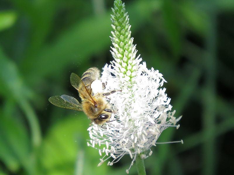 Пыльца с подорожника белая
