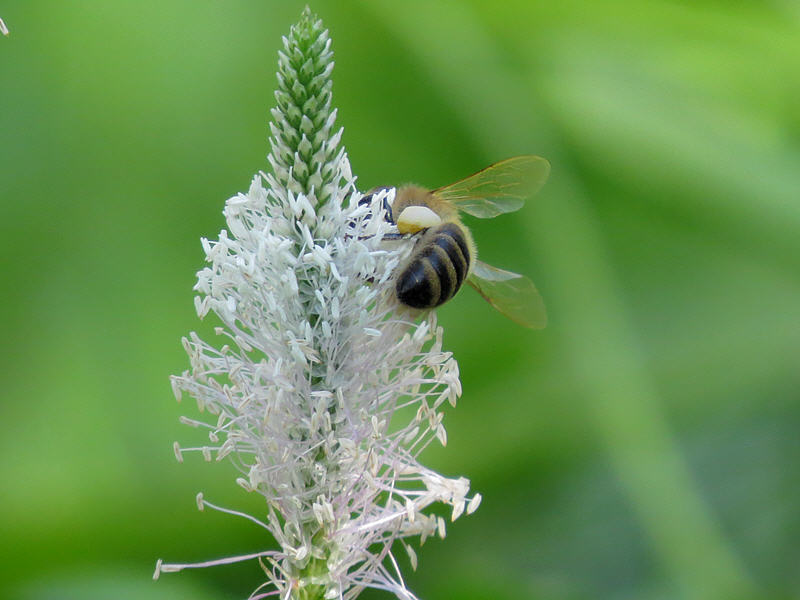 Пчела за работой на цветке