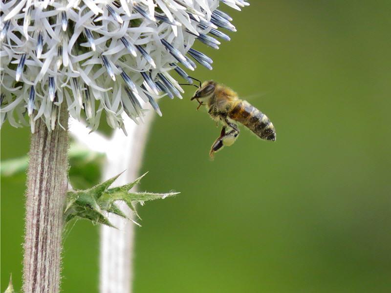 Пчела около цветка ежовника