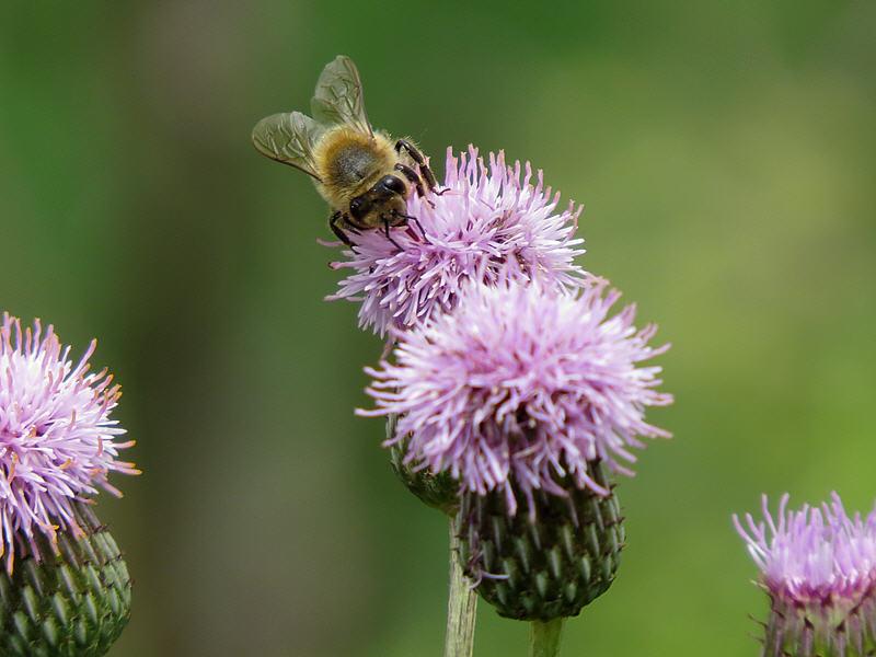 Пчела на цветке осота розового