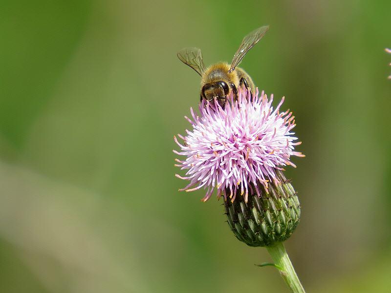 Пчела на цветке бодяка полевого