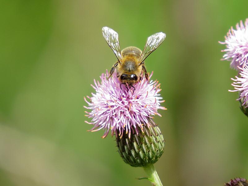 Пчёлы на цветках осота розового