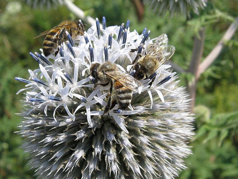 Пчёлы любят мордовник