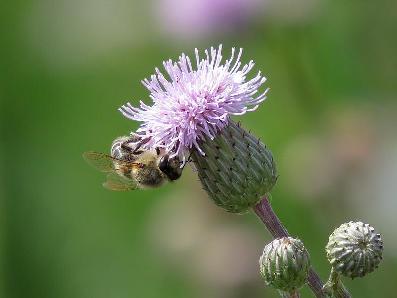 Бодяк полевой и пчела
