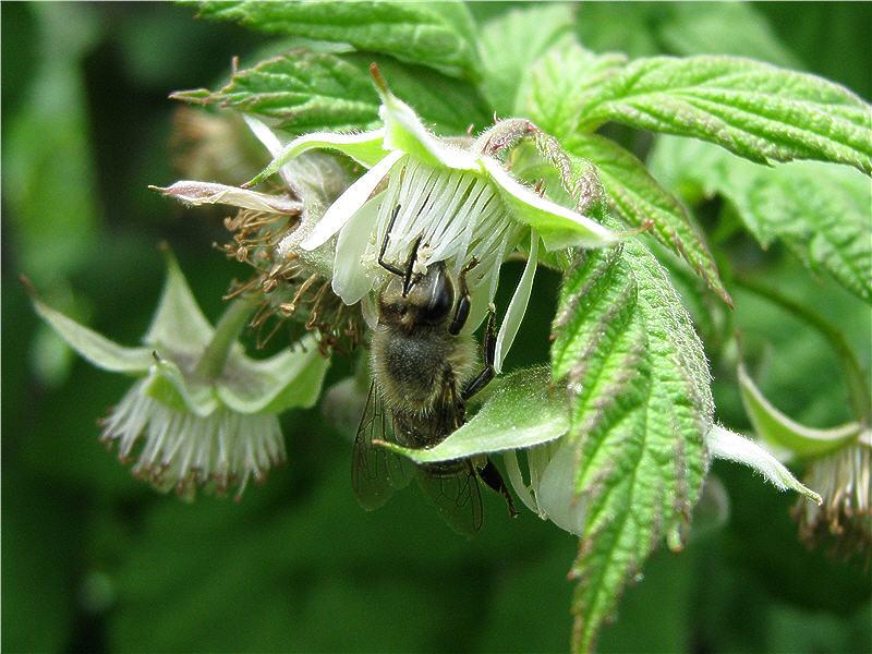 Пчела на цветке малины обыкновенной