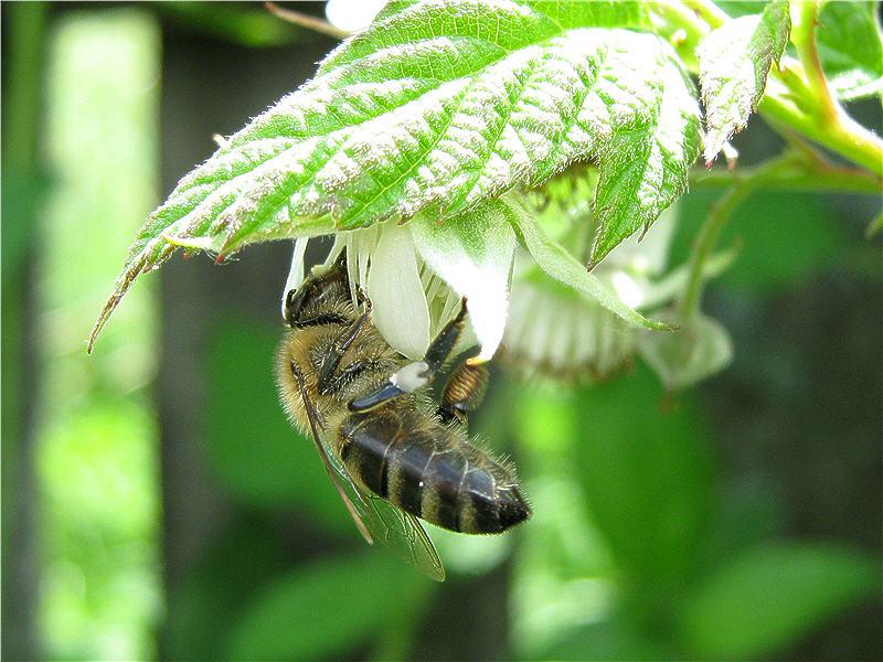 Пчела на цветке малины