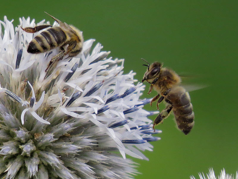Пчёлы на соцветии мордовника